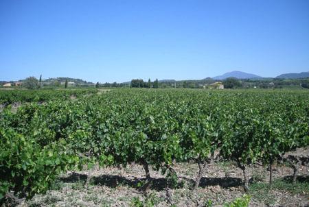 Vineyard in Côtes du Rhône