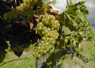 NY State REisling Grapes