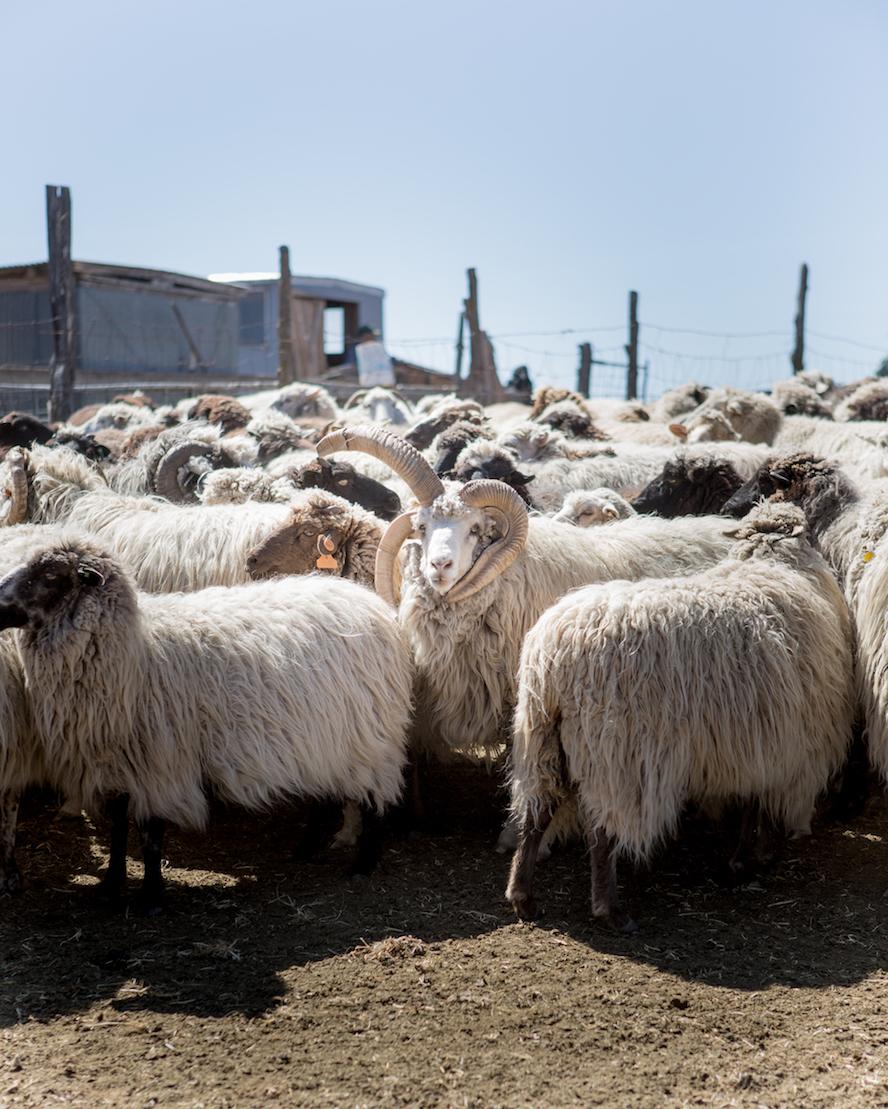 navajo_churro_sheep.jpg