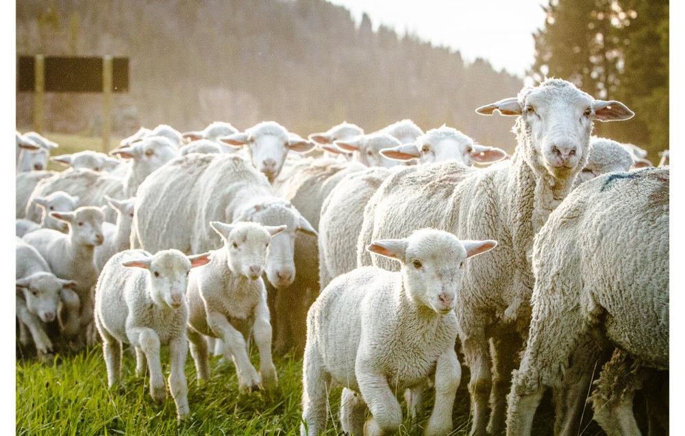 sheep to shelf.jpg