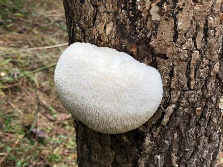 A grade A lions mane fruiting on a 2018 class participants log.  Their log fruited after about 6 months of incubation.  We would recommend harvesting a mushroom of this size and texture now or within the next 24 hours, unless you want to explore just how long the teeth can get.  In that case, you can let it go longer but note that very long mature teeth (they can be over an inch long!) can co-relate to a mushroom that is more bitter in taste and has a very short shelflife (ie -go from harvest to pan if you can!)