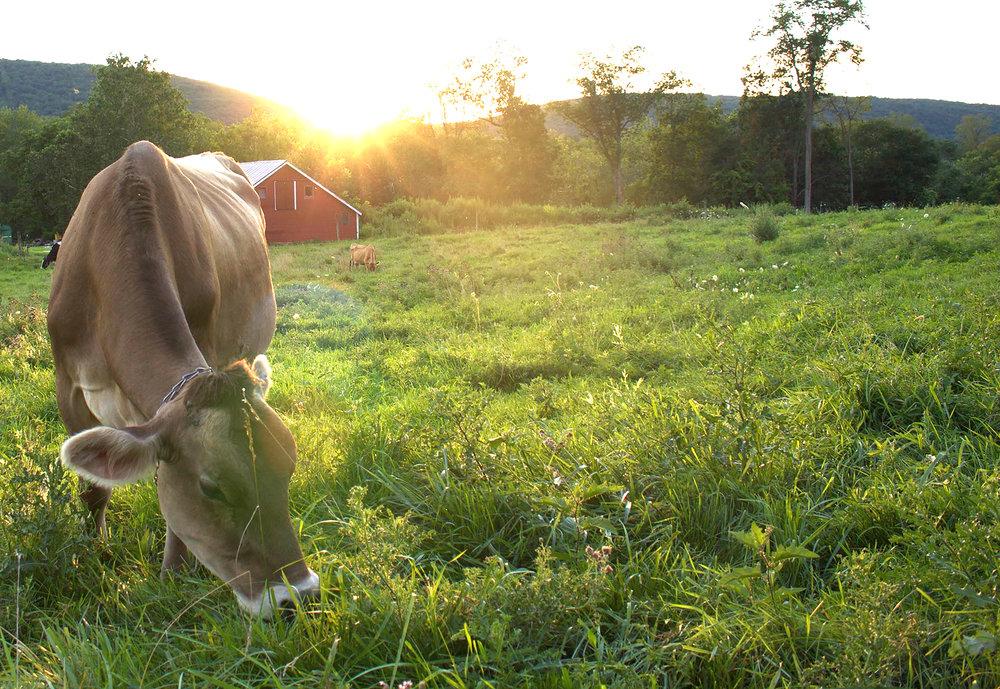 cowsinpasture.jpg