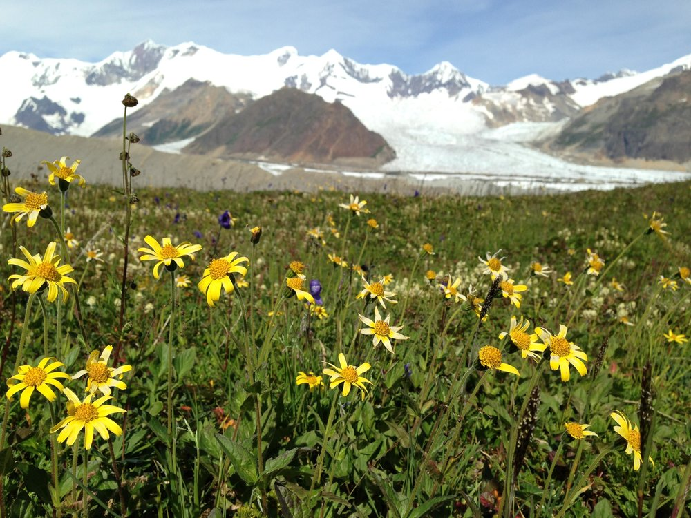 Basecamping Drop-Off: Wildflowers at the Fosse with Kennicott Glacier