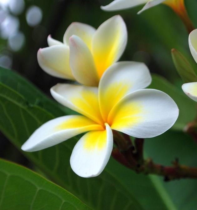 1024px-Frangipani_flowers.jpg