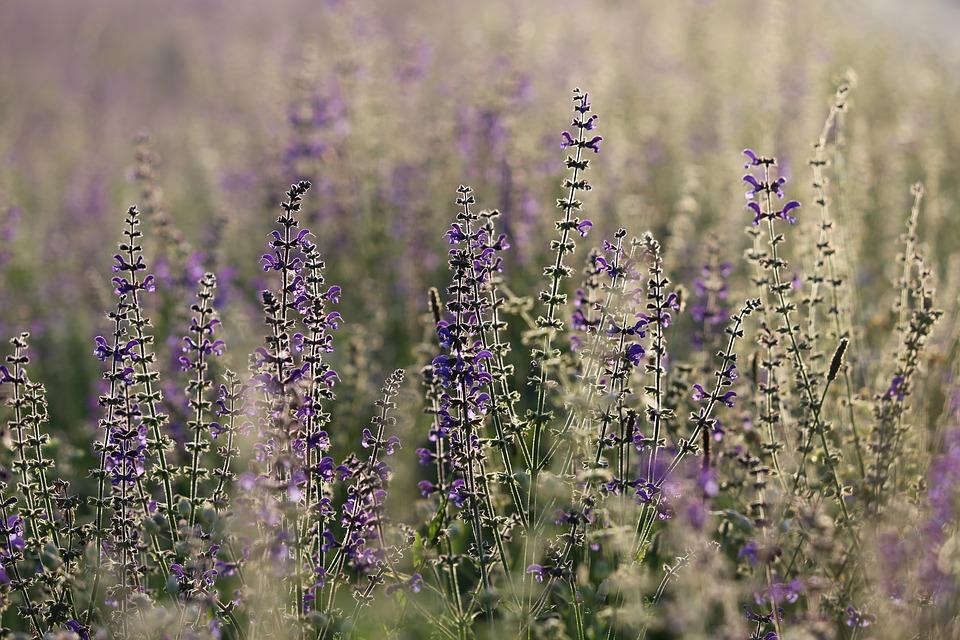 Salvia-Pratensis-Blue-Violet-Meadow-Sage-Flower-3495630.jpg