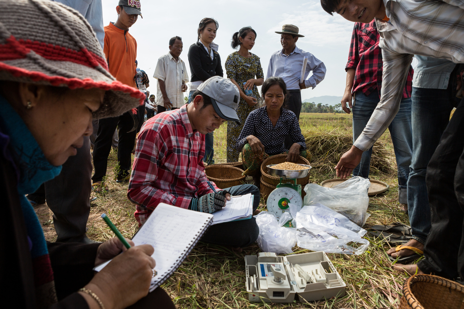 December 14, 2013 - Takeo, Cambodia. Rice Harvest. PADEE Project - Trapeng Pring Village. © Nicolas Axelrod / Ruom for SNV