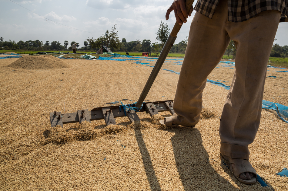 January 28, 2014 - Battambang, Cambodia. Rice is sun dried in a field on the outskirts of Battambang. The rice is set to dry for three days before being taken to the mill for de-husking. © Nicolas Axelrod / Ruom for SNV