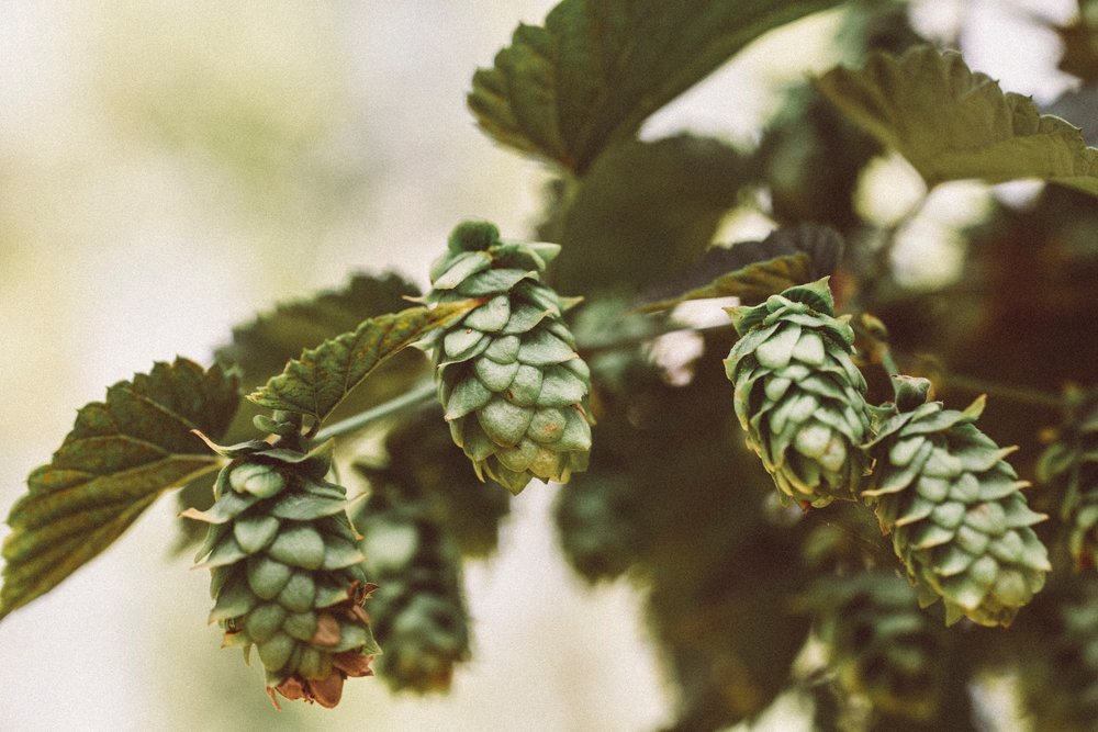 spokane-club-beer-cider-hops.jpg