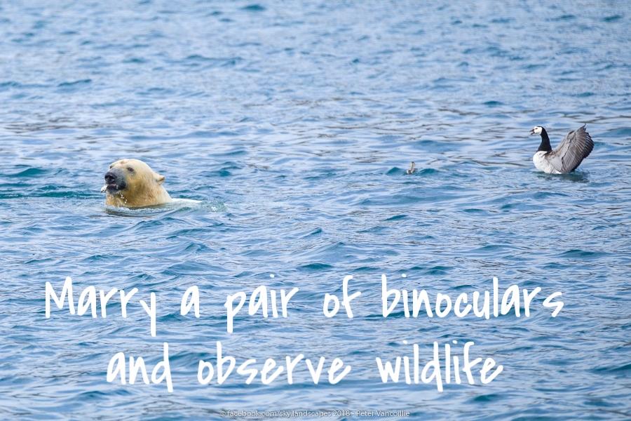 Polar bear eats barnacle goose chick