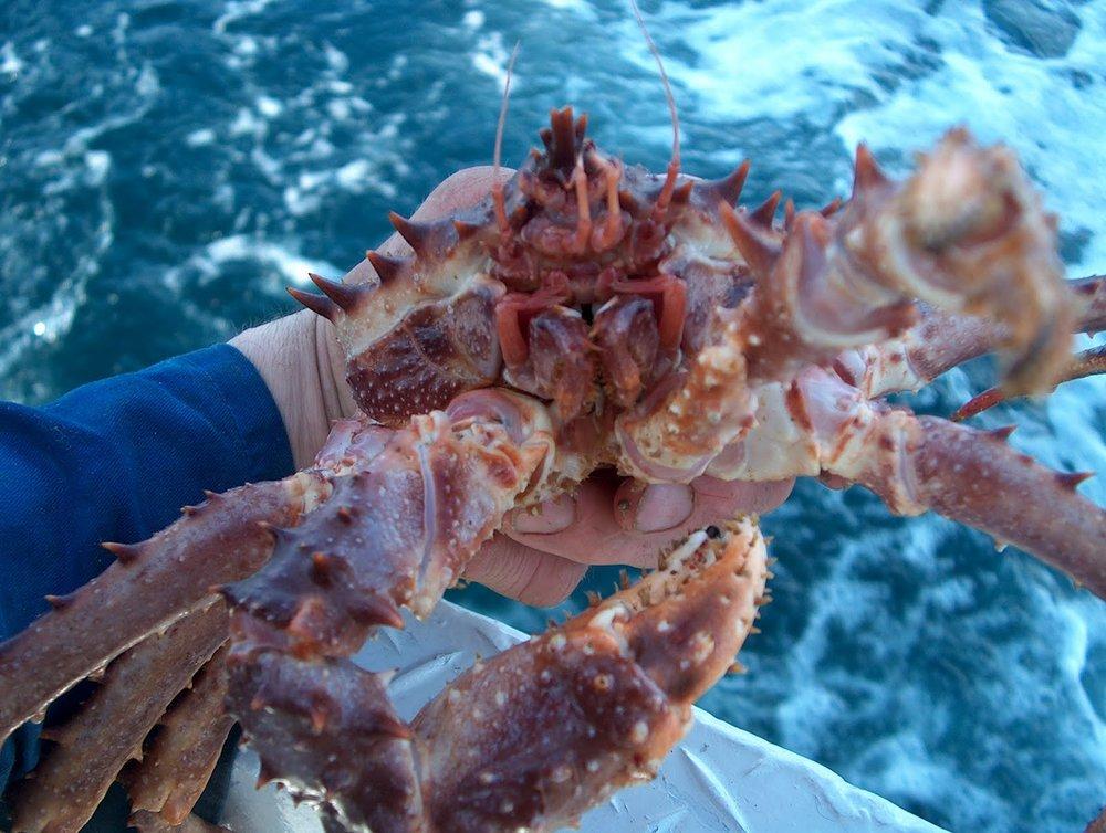 troll crab.JPG