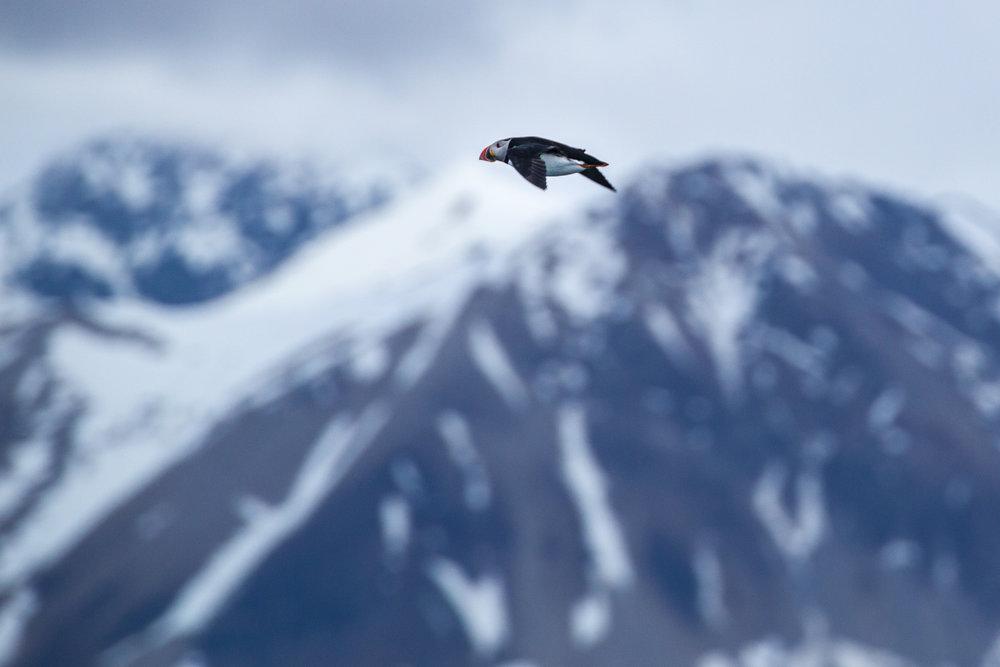 Vliegende puffin in Spitsbergen, foto door Peter Vancoillie, Puffins expeditie 2018