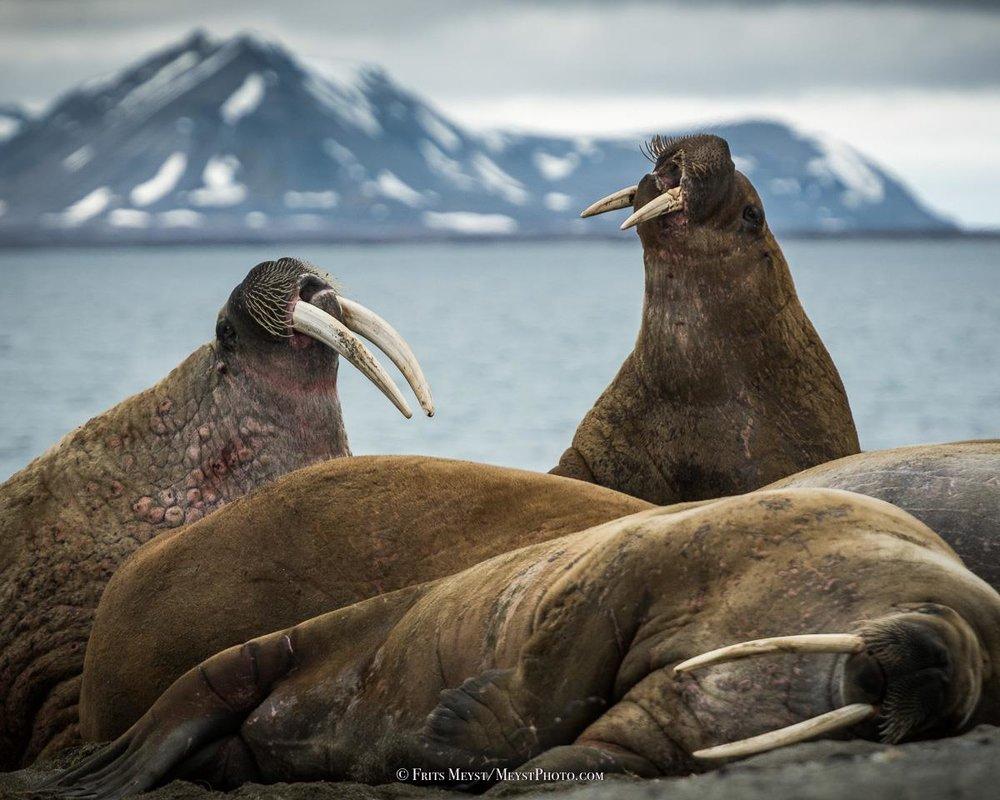 walrussen .jpg
