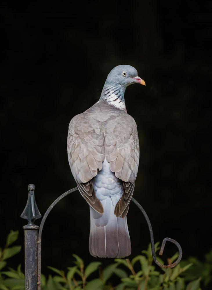 Wood_Pigeon_Bird_Photographer_West_Sussex.jpg