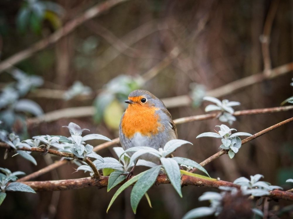 Bird_Photographer_West_Sussex_Robin_1000 copy5.jpg