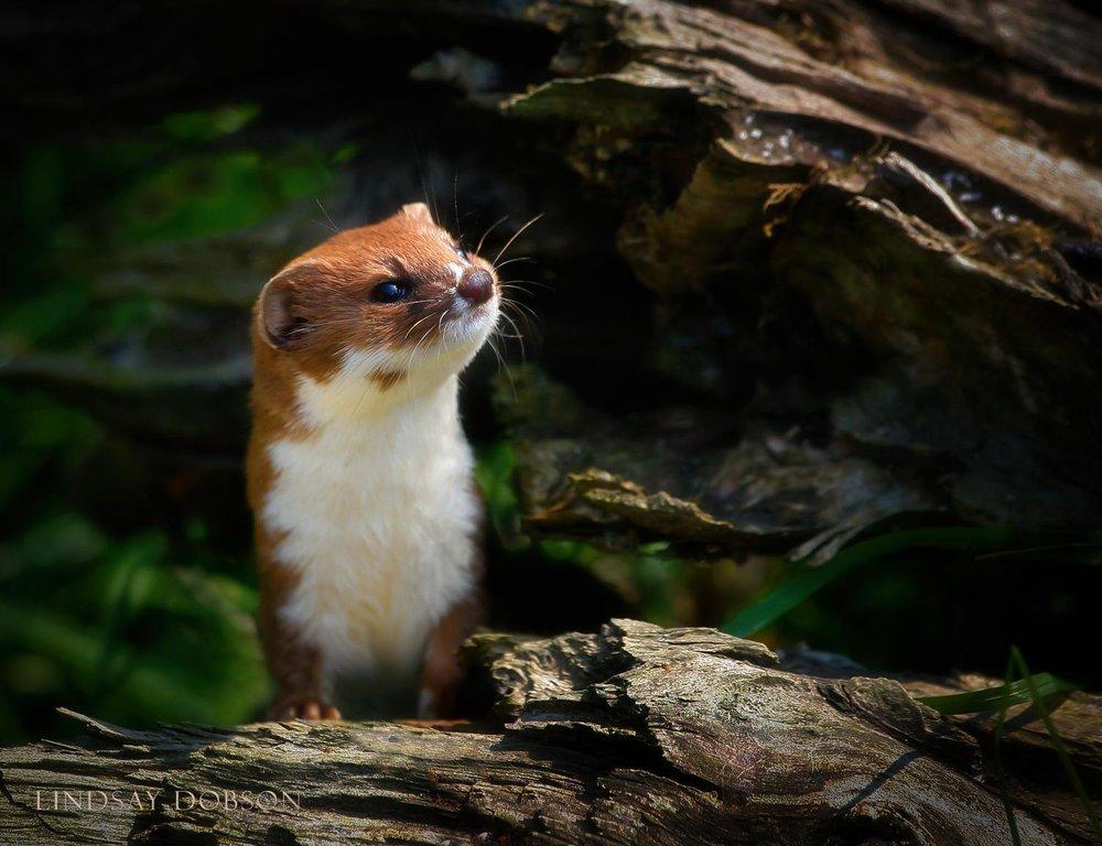 Native_British_Wildlife_Photography_Weazel_0.jpg