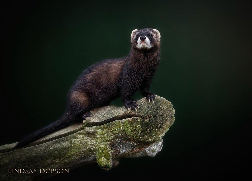 Native_British_Wildlife_Photography_Polecat_0.jpg