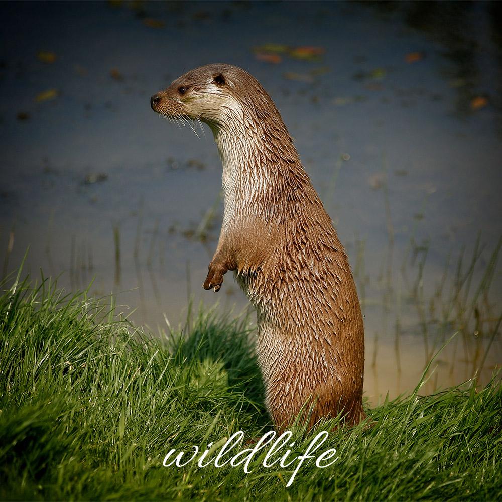 otter wildlife photographer sussex surrey kent