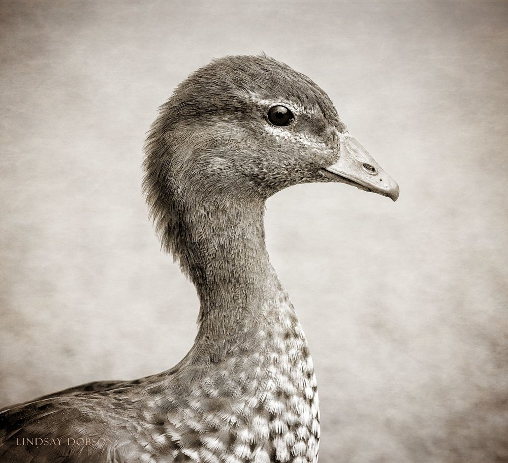 Fine Art Pet and Animal Photography Surrey Maned Goose