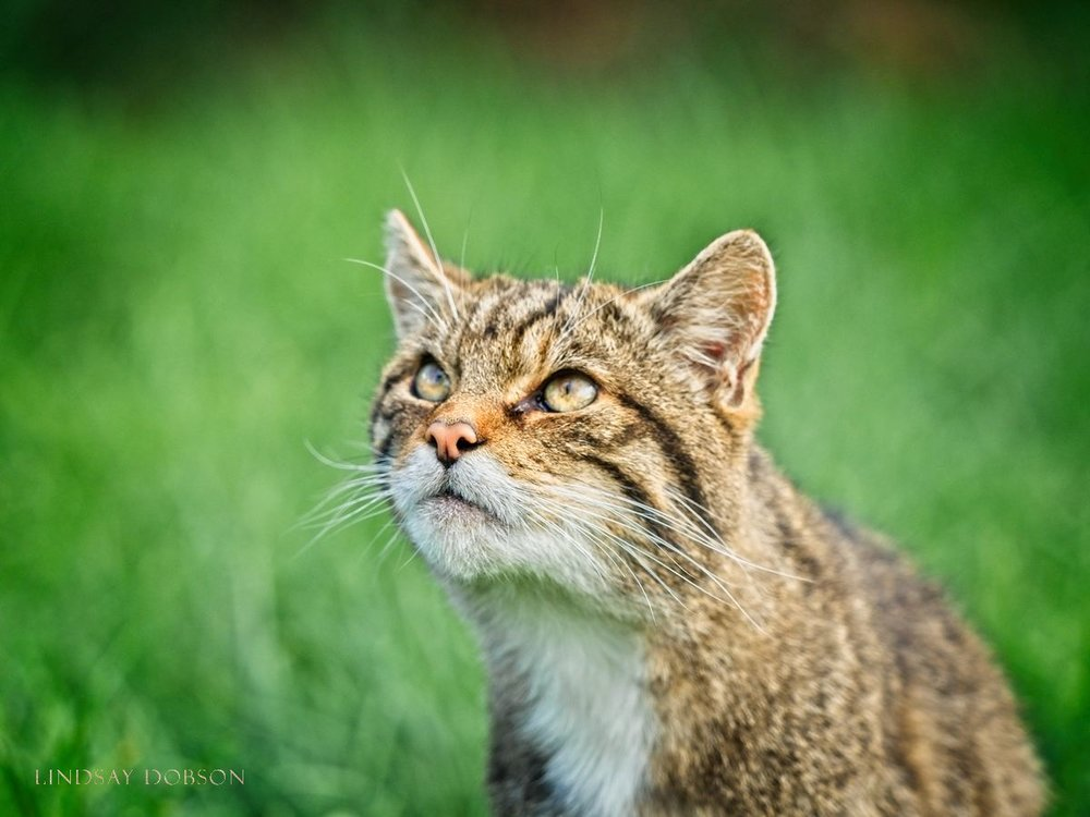 Scottish Wildcats at the British Wildlife Centre Surrey copy1.jpg