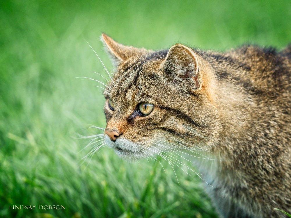 Scottish Wild Cat Photographs at the British Wildlife Centre Surrey