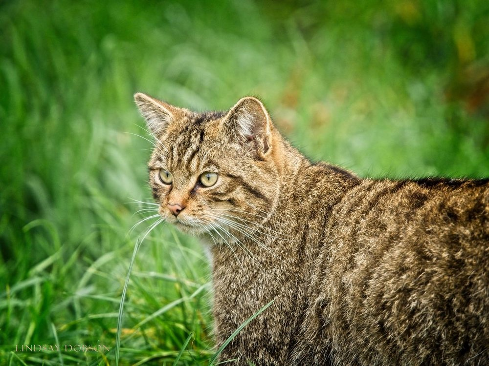 Scottish Wildcats at the British Wildlife Centre Surrey copy14.jpg