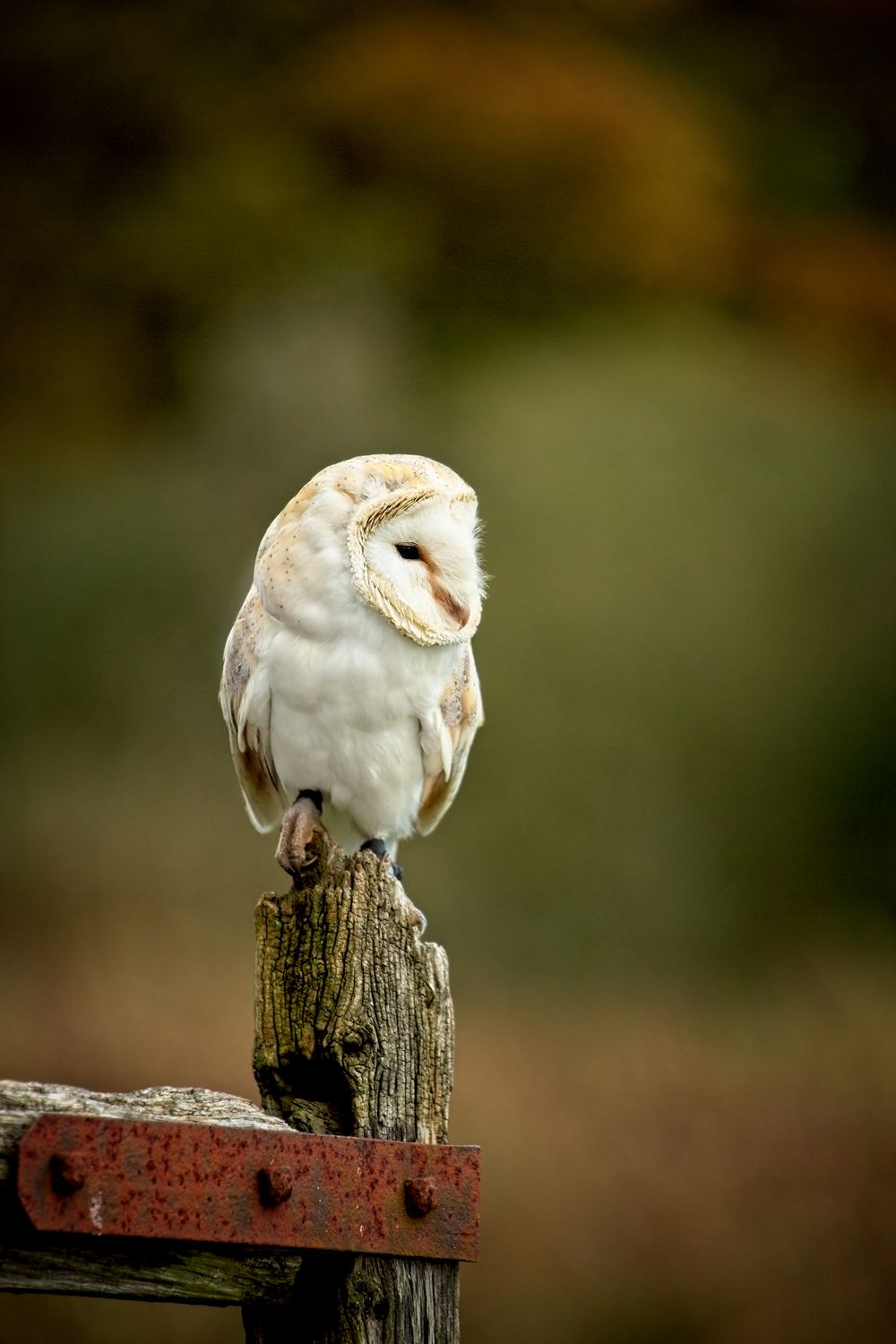 Barn Owl … - These birds have such soft feathers that they can fly silently, enabling them to swoop on their prey (mostly voles and mice). On a summer evening as the sun is going down these birds used to be a common sight, usually leaving a barn ready for an evening hunting.