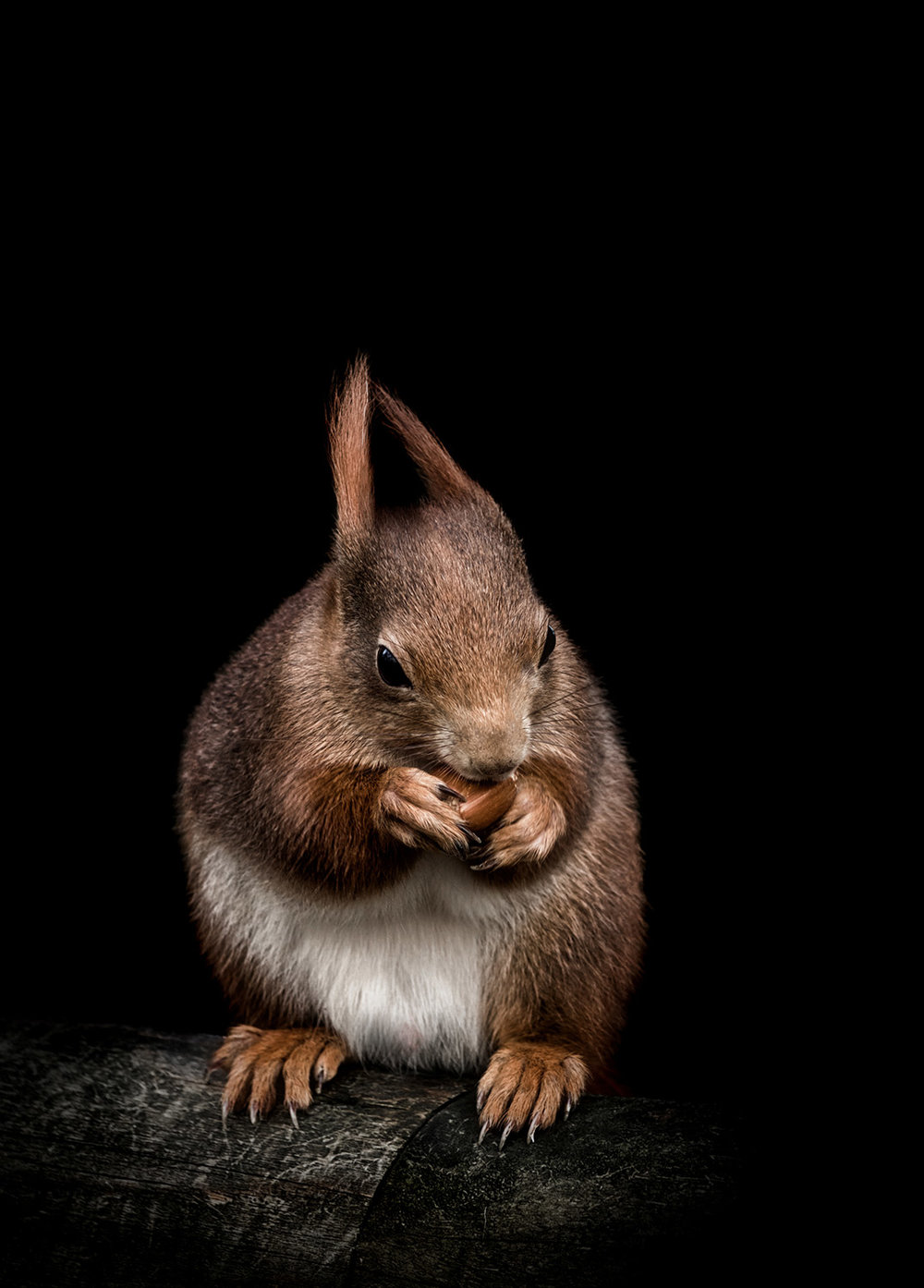 Red-Squirrel-Photography-Surrey-and-Sussex.jpg