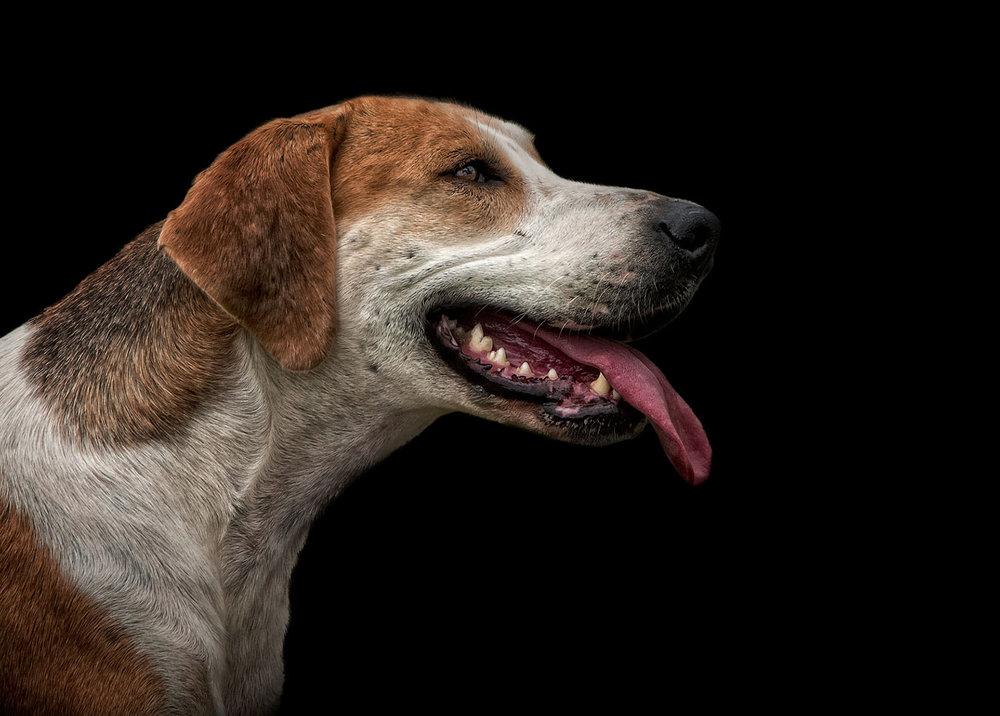 Fine Art Pet Dog Photography Surrey Fox Hound