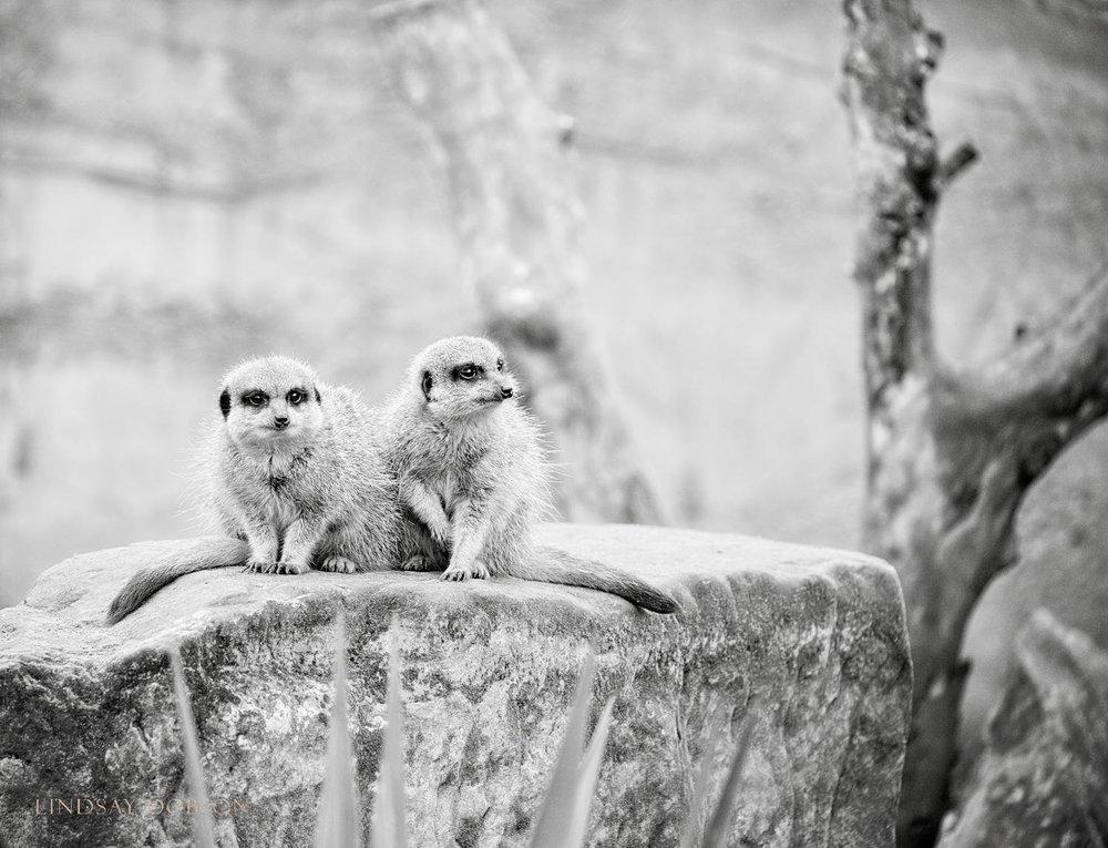 Photographing Captive Animals in Zoos Meerkat