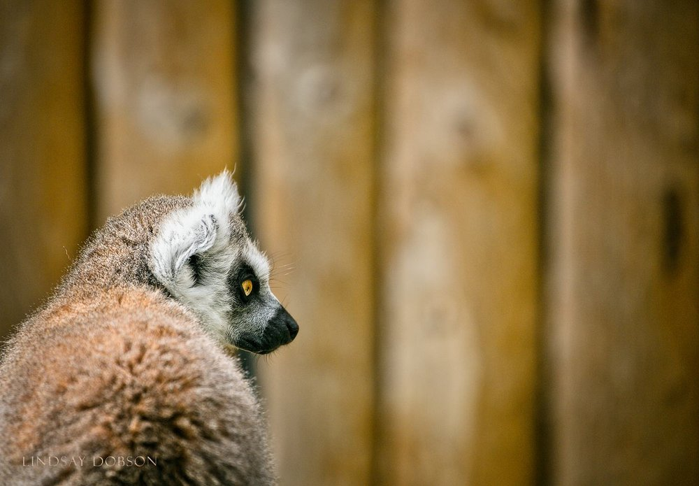 Photographing Captive Animals in Zoos Lemur