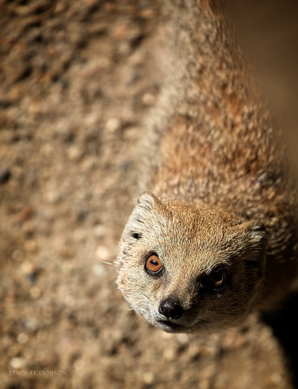 Photographing Captive Animals in Zoos Yellow Mongoose