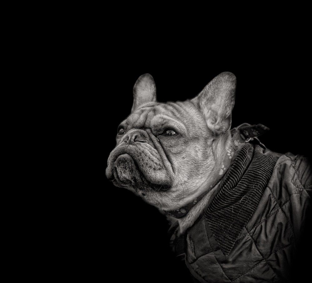 Pet Dog Photographer Chichester West Sussex | French Bulldog