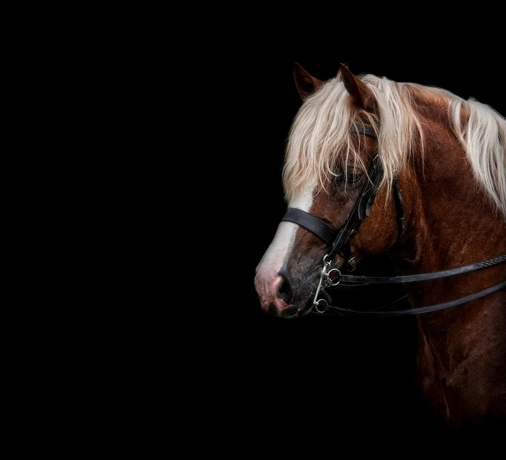 Equine Horse Fine Art Portraits Brighton East Sussex