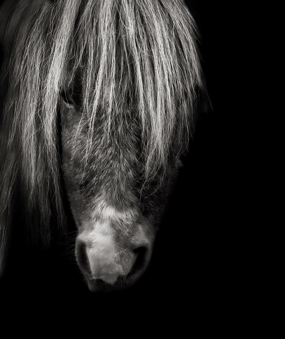 Shetland Pony Equine Portrait Photography Horsham West Sussex