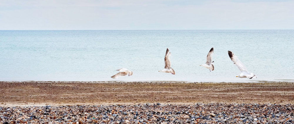 Herring Gulls on Littlehampton Beach West Sussex
