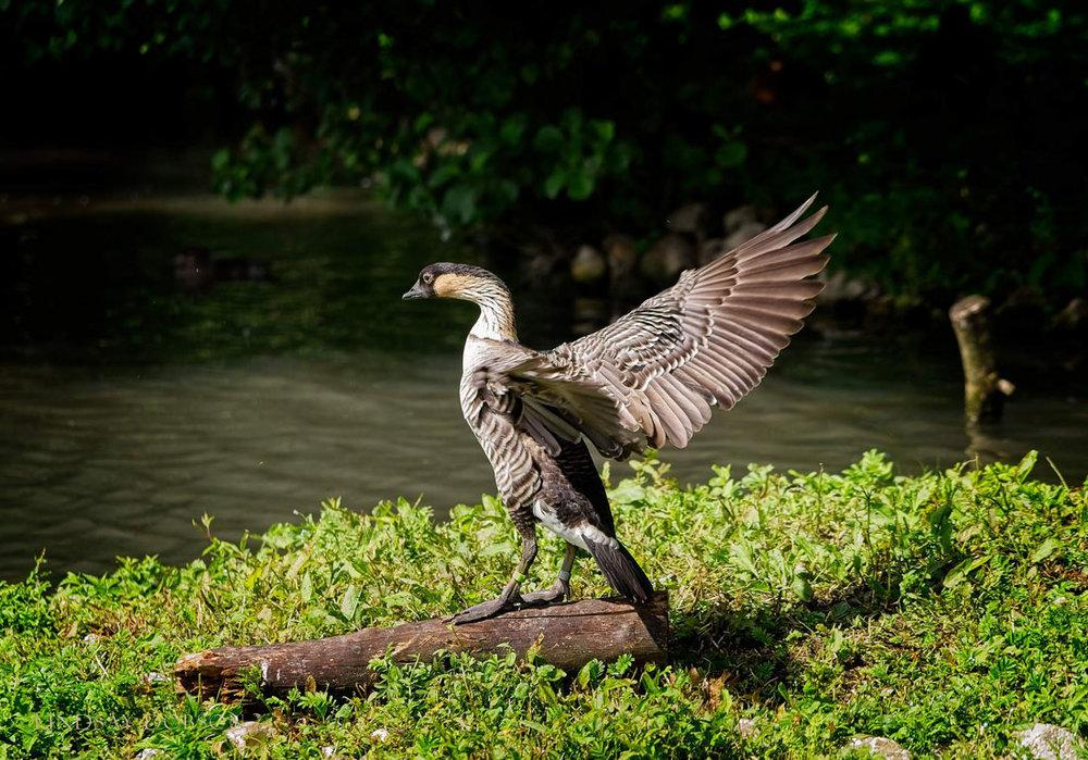 Wildlife_Photography_Sony_A7rii_70to200_Lens_-copy2.jpg