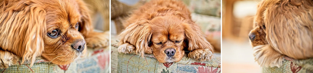 pet cavalier king Charles spaniel photoshoot surrey
