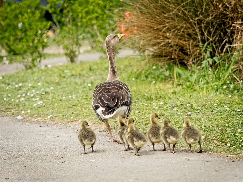 goose-chicks-bird-photography-sussex-1000.jpg