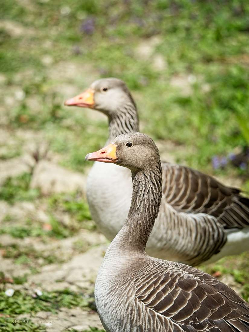 goose-chicks-bird-photography-sussex-1004.jpg