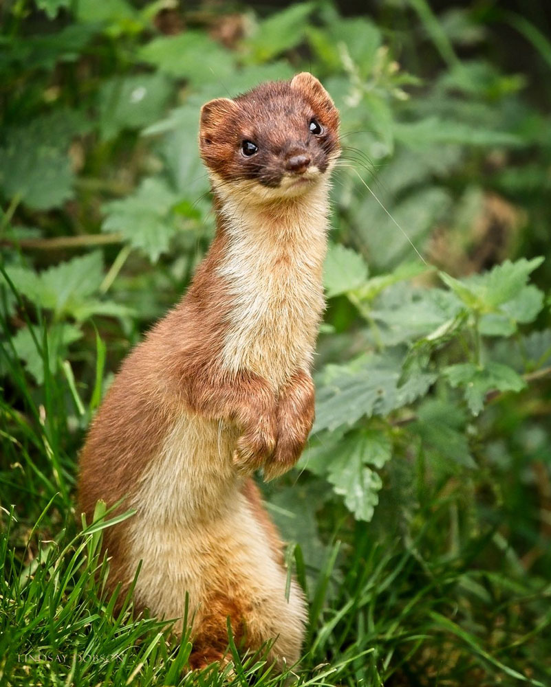 Do stoats turn white in winter? - In the far north of England, yes. In the south they stay brown.