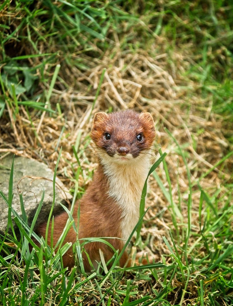 Body weight …. - A stoat weighs between 100 and 450g and they're found all over the UK. They're strong enough to eat a chicken or a hare. A stoat can live for up to 10 years, weazels for around 3.