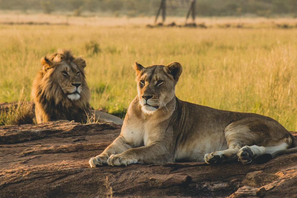 HLANE ROYAL NATIONAL PARK - Vida selvagem incluindo leões, elefantes e rinocerontes