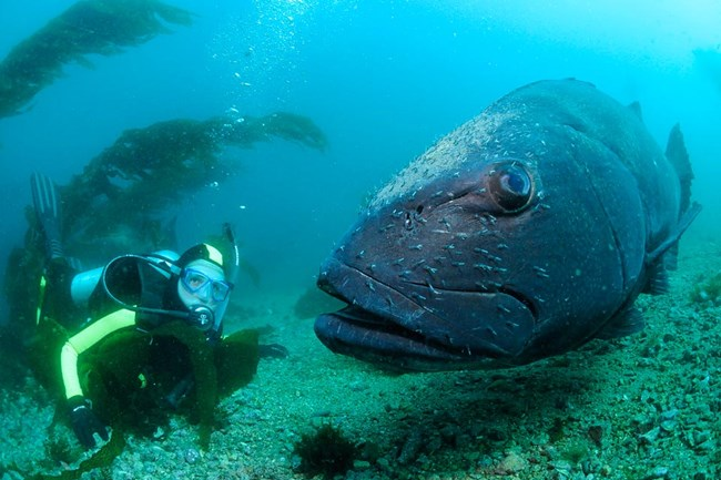 The critically endangered black sea bass has made a comeback in the Channel Islands since the reserves were introduced (photo: Jeffrey Bozanik/NPS)