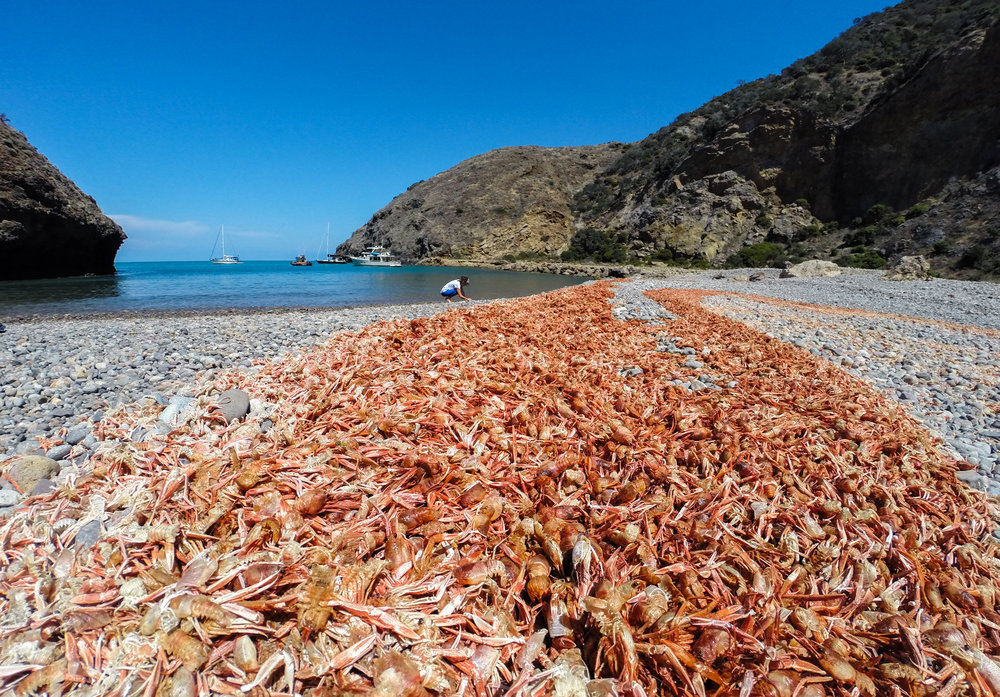 A blanket of red crabs and Rhianna trying to find shells in-between the mass casualties.
