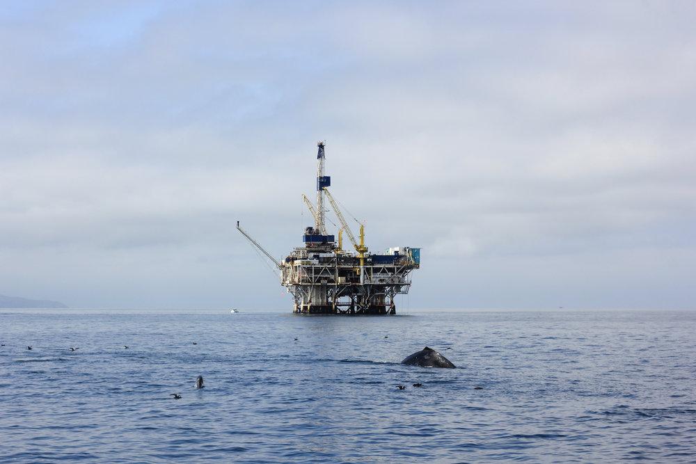A humpback whale feeding near platform Gilda (Josh's Work).