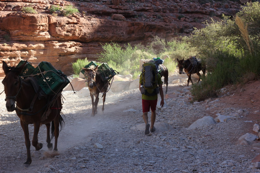 Mules running gear between the hilltop and the main reservation. When you heard them coming, you had to get off the trail or be run over!