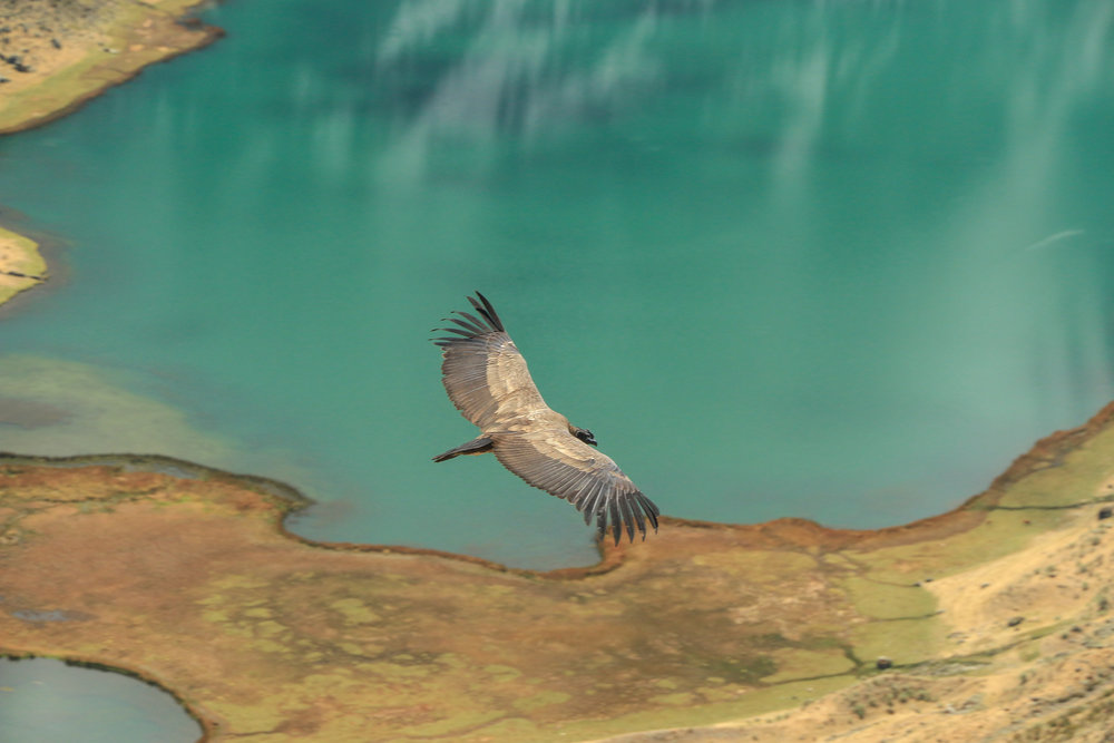 Andean condor. Photo by Ryan.