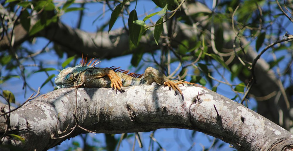 A colorful iguana sunbathing above us.