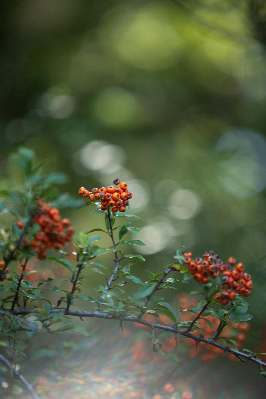 Firethorn in the sunlight | Wilde and Wilder