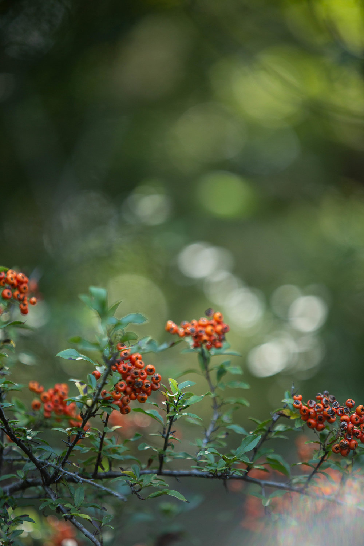 Firethorn bush in the sunlight